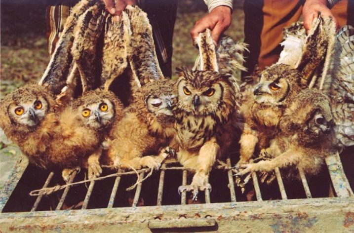 Thousands of owls sacrificed during Diwali festival
