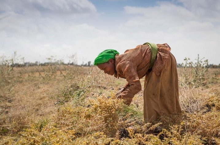 Ethiopia: Improved seeds bring tangible results in field experiments