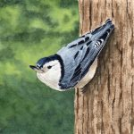 little nuthatch