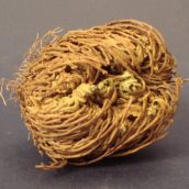 rose-of-jericho-1404348759-jpg