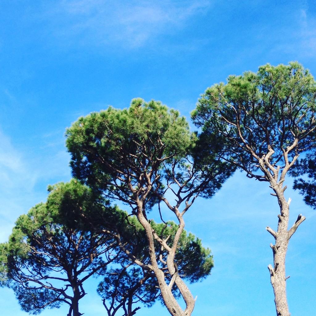 The pine trees of Lebanon