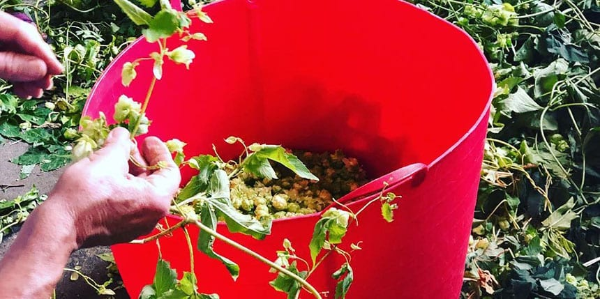 Hops Harvest - Featured