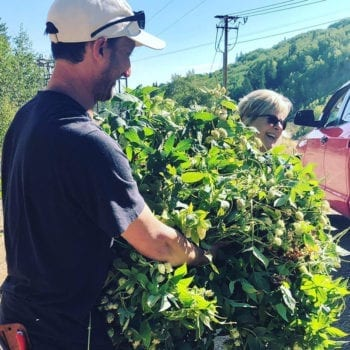 Hops Harvest - Harvesting at Empire Canyon 2