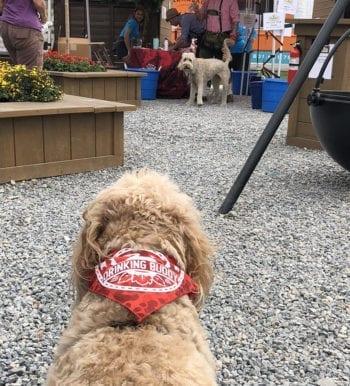Wrigley the Wheaten enjoys the festivities at the 2018 4th West Oktoberfest.