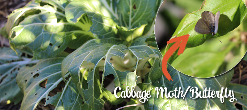 5 Tips to deal with White Cabbage Moth