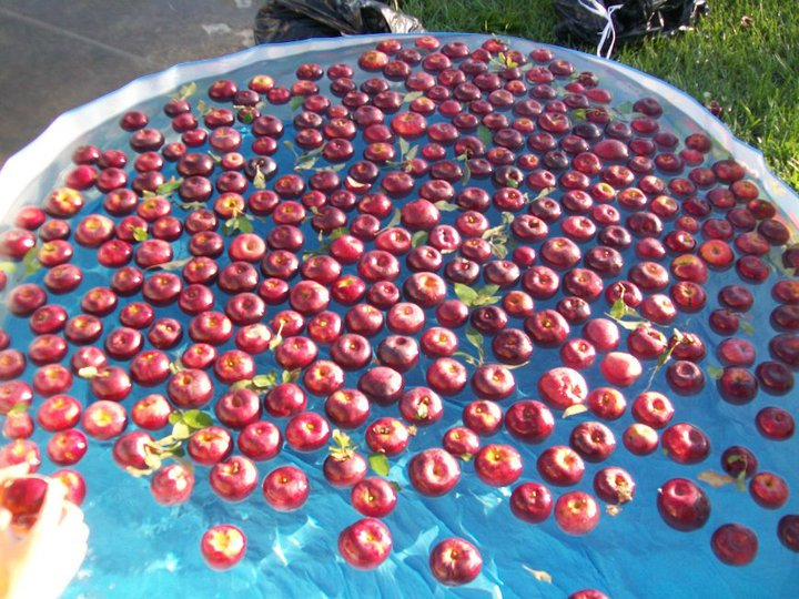 Apples bobbing in water