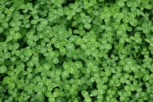 4-leaf clover in patches