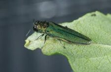 Emerald Ash Borer discovered in two counties