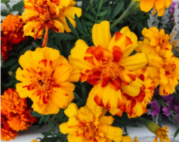 Marigolds-254x202