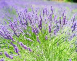 lavendar-254x202