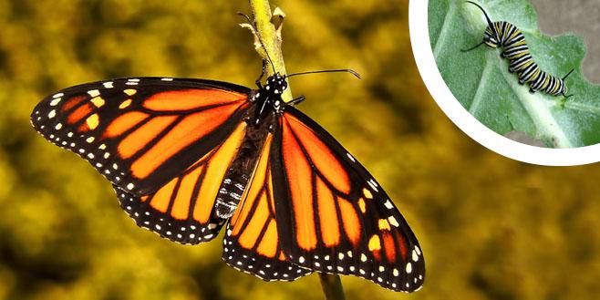 the monarch butterfly w