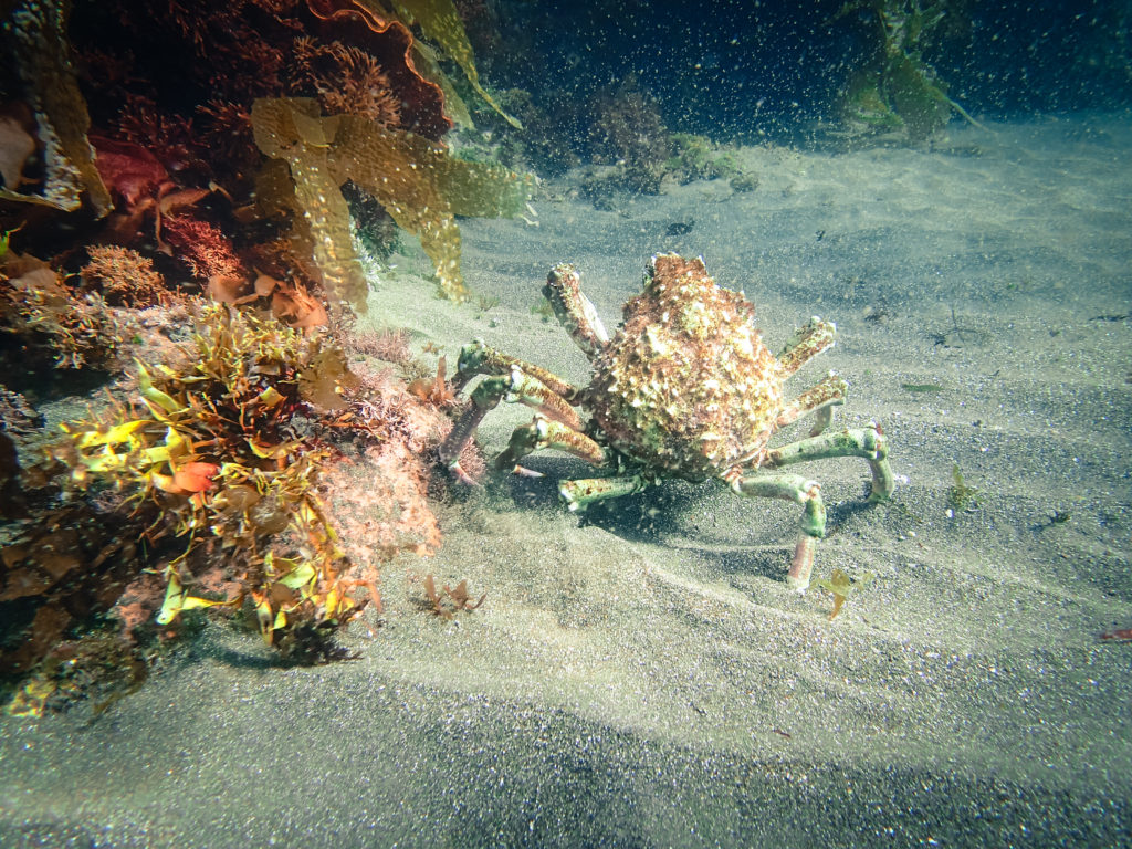 Channel Islands Crab