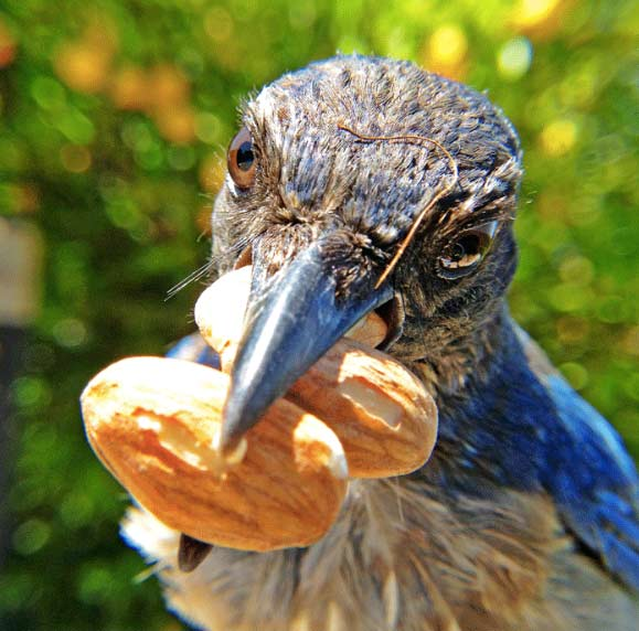 Bird cam feeder photo of Scrub Jay. Photographed with Bird Photo Booth 2.0.