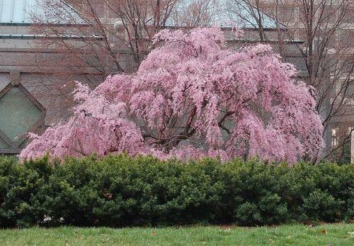 Prunus pendula 'Pendula Plena Rosea' in bloom