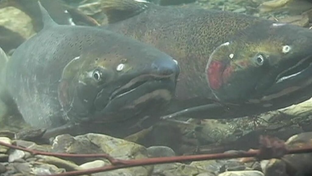 Two salmon in a river
