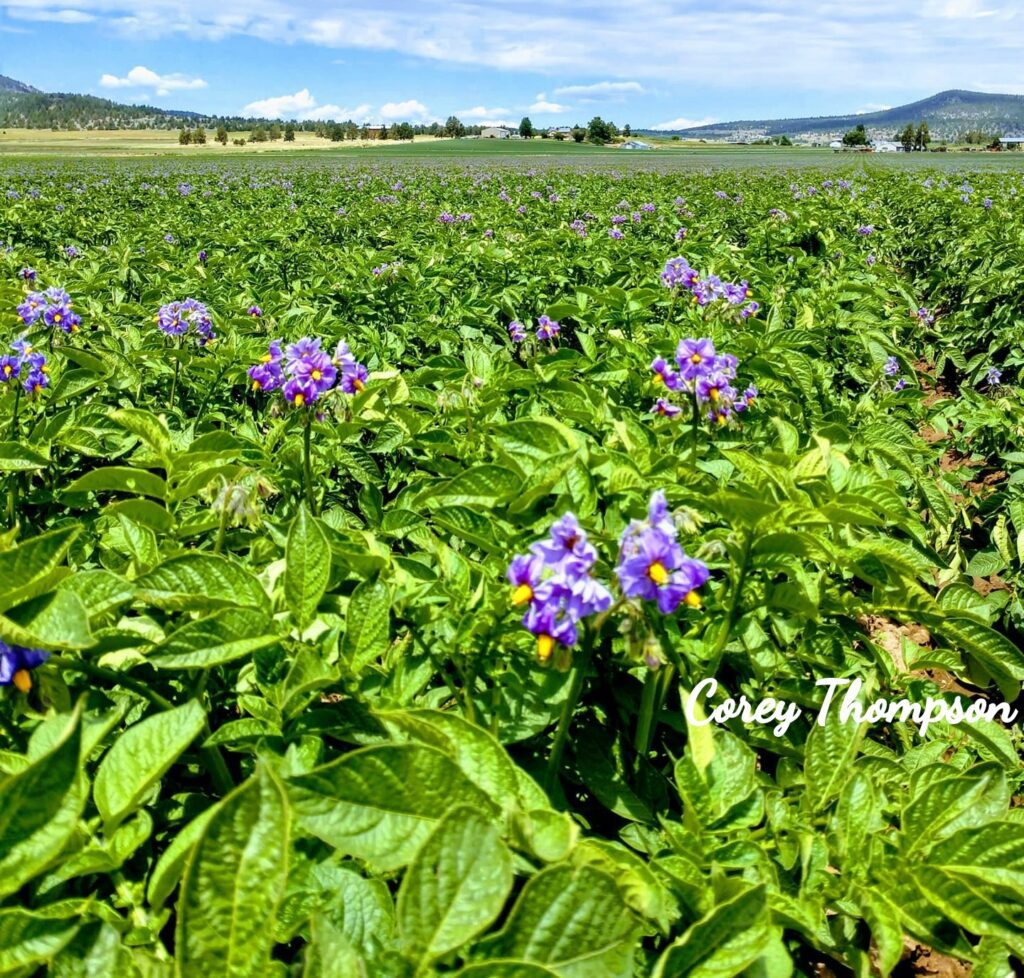 """The Little Things"" photo of potato field in bloom by Corey Thompson"