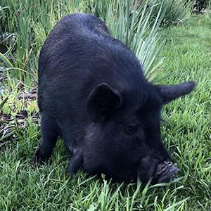 Petunia_pig