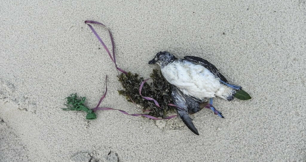 A black-winged petrel that died after becoming entangled in a balloon's ribbon.