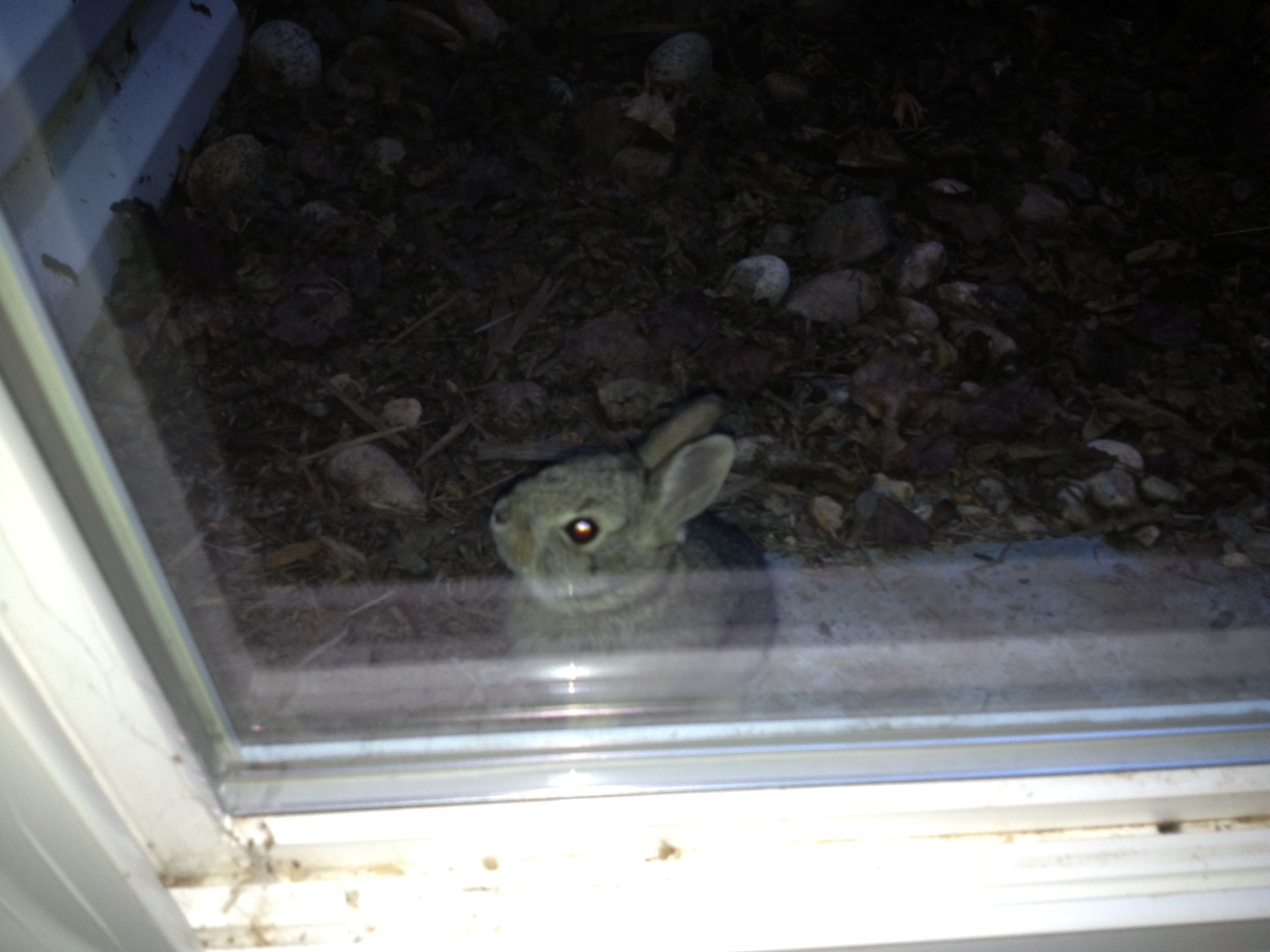 Bunny Trapped in Window Well