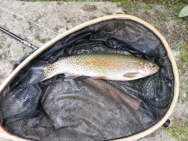 12 Inch Rainbow from South Boulder Creek