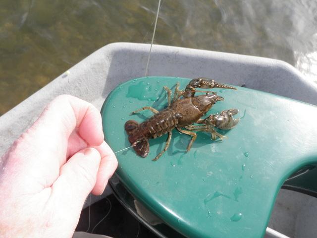A Crayfish I Landed on a Midge