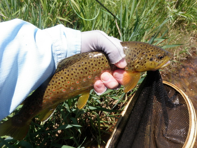 A Brightly Colored Brush Creek Brown on Sunday