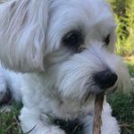 Dog chews on stick with Lago Vista pet sitting