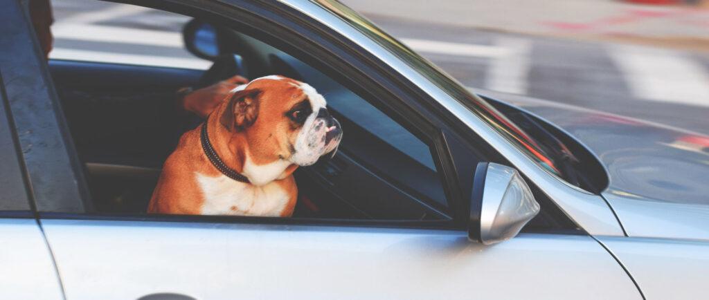 Dog in Lago Vista Pet Taxi