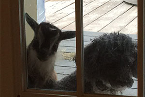 Pet sitting for dog and sheep