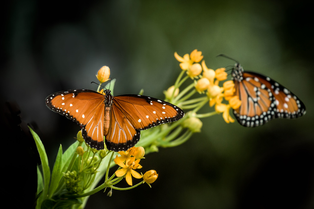 Butterfly gardens in Central Texas