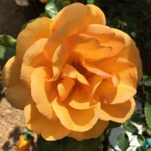 Shrubs & Roses