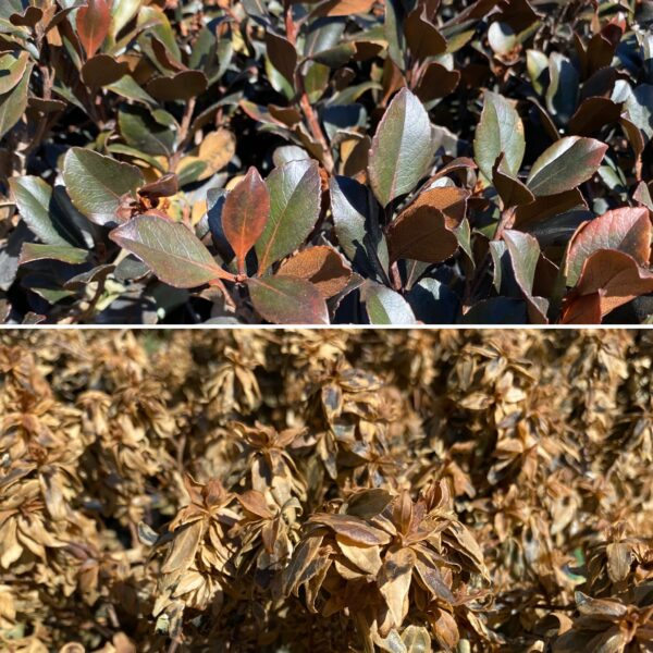 Cold damaged shrubs can be tricky to diagnose right away. Give them some time!