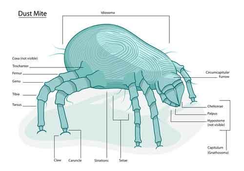 Dust Mite Identification
