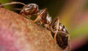Pharoah Ant