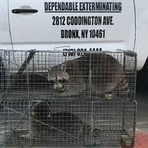 Raccoons in Trap