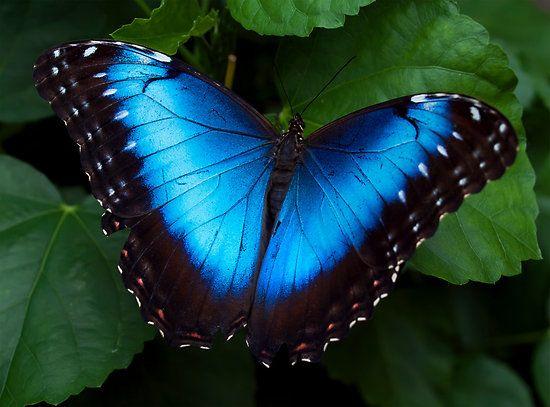 2764c016cb0464c487facc273a3359fc--monarch-butterfly-blue-butterfly