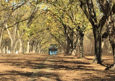 Row of pecan trees during harvest
