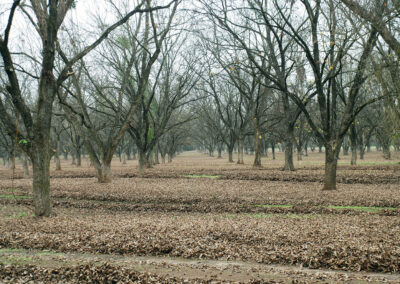 Rows of pecan trees during harvest time