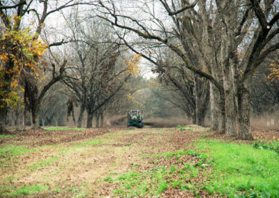 Tractor harvesting pecans