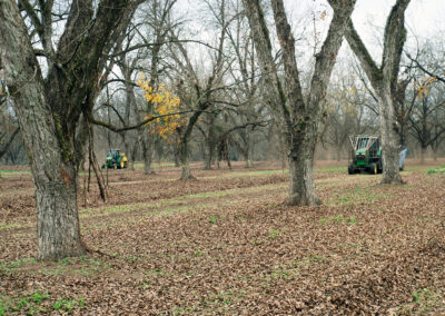 Tractors in field during pecan harvest