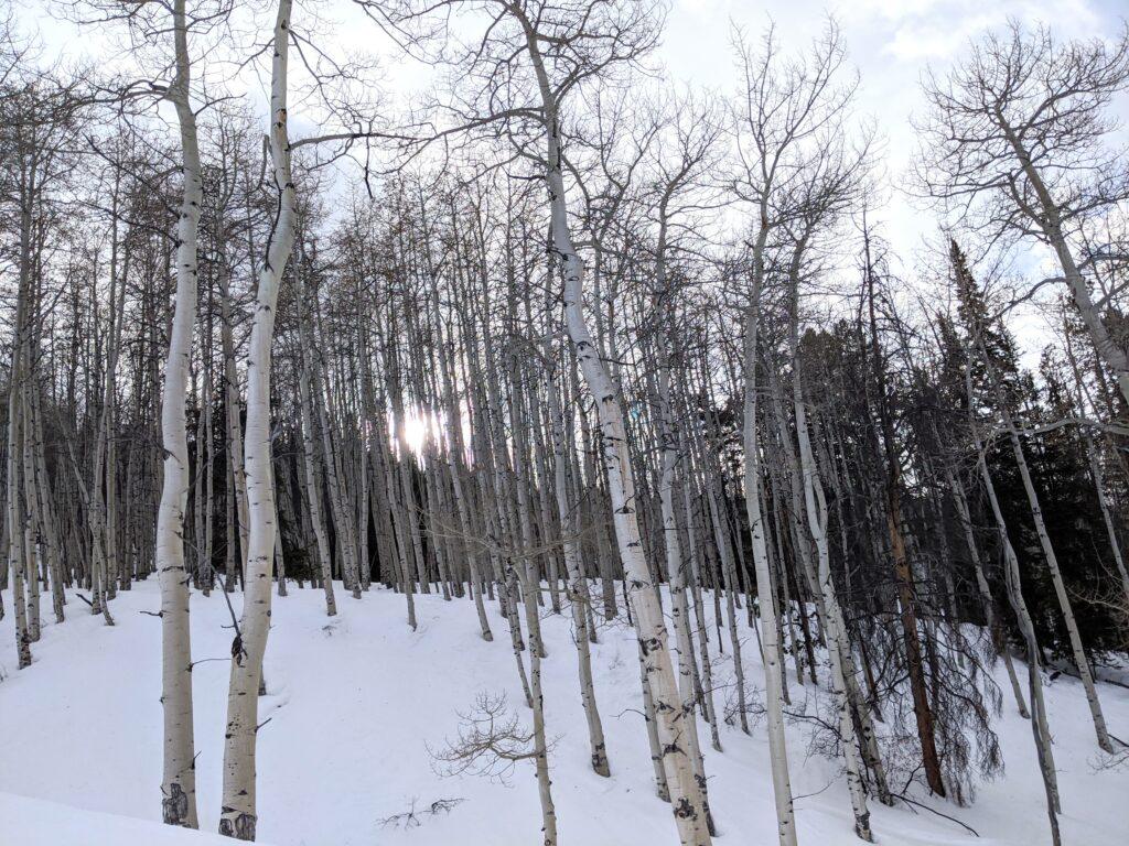 Bare aspens in snow