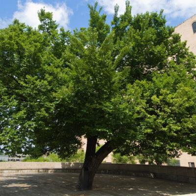 The Survivor Tree – Today