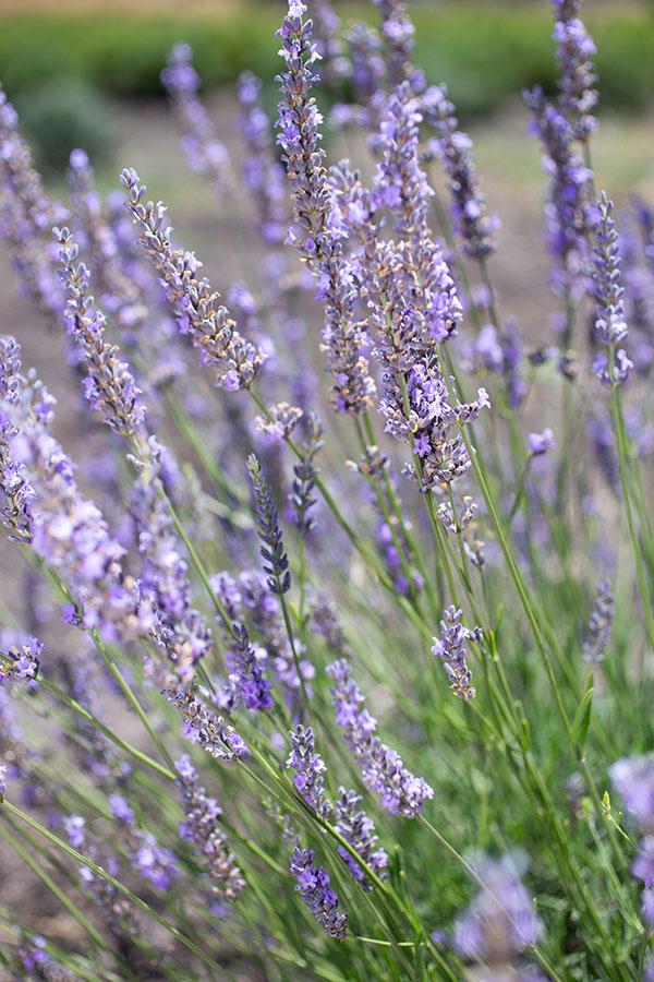 Lavender 'Seal'