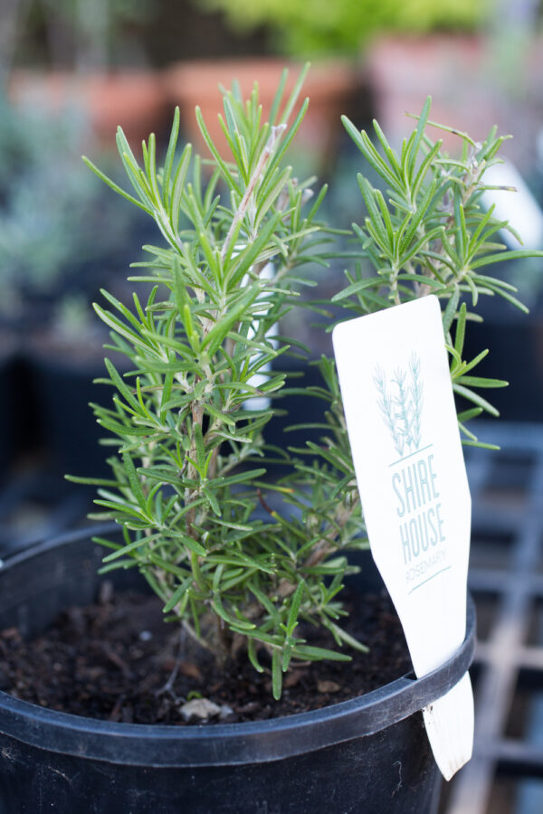 Rosemary 'Tuscan Blue'