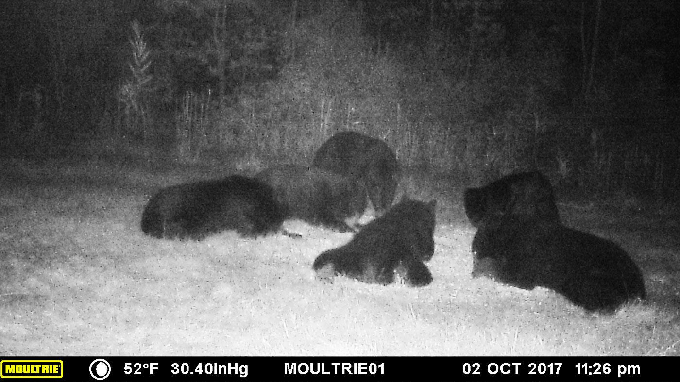 Bear hunt bait