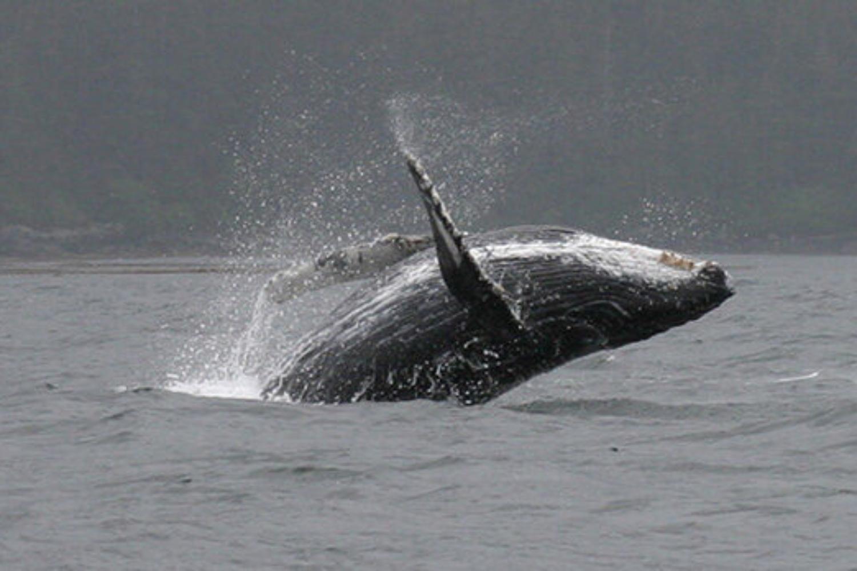 Whales in Alaska