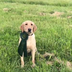 Labrador Retriever Breeder Alabama