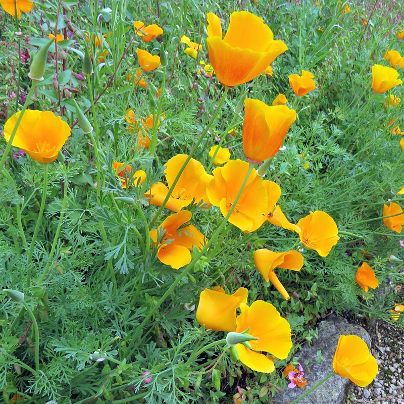 California poppy state flower of California