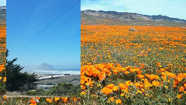 Morro Bay. photo by Patricia Gill copyright 2016, California poppies.