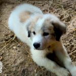 AKC registered Great Pyrenees, Shady Acres Farms, North Carolina, Great Pyrenees puppies for sale, Great Pyrenees puppies nc, livestock guardian dogs